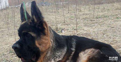 一窝血统纯正的德国黑背牧羊犬宝宝图片