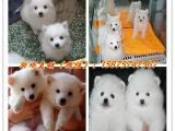 精品狗狗美丽活泼纯种日本银狐犬尖嘴宠物狗终身保障