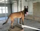 五个月的马犬多少钱一条 马犬图片