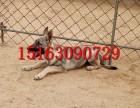 狼青犬价格,怎么驯养猎犬幼犬,沈阳哪里有狼青幼犬出售