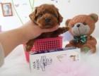 各色经典玩具泰迪犬 您的终身伴侣 聪明可爱惹人爱