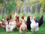 广西家禽网-广西家禽养殖信息网-广西活禽批发交易平台