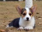 福州纯种柯基价格 福州哪里能买到纯种柯基犬