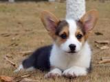南昌纯种柯基犬多少钱 在南昌什么地方能买到纯种柯基犬