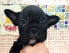 【爱宠到家】法斗全品类狗狗出售!【健康+纯种】