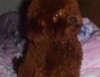 超低价家中配上狗狗的泰迪。棕红色,一岁多点,玩具体