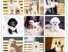 出售拉多 哈士奇 萨摩 泰迪 博美等30多个品种犬