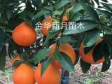 柑橘苗 红美人苗 欢迎新老客户速来定购