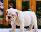 银川纯种英国斗牛犬价格 银川哪里能买到纯种英国斗牛犬