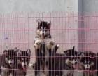 hybj专业基地繁殖狗场直销超可爱 保健康马尔济斯宝宝出售