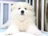 狗场里的萨摩耶能不能养活 价格贵不贵