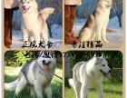 三火双蓝眼哈士奇 西伯利亚雪橇犬 公母均有 可上门
