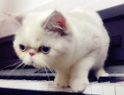 出售纯种加菲猫