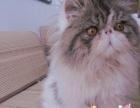 优美名猫馆 加菲猫 幼猫转让