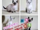 沈阳哪里有暹罗猫卖 蓝猫 加菲猫 波斯猫 美短加白多少钱价格