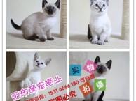 沈阳当地出售 布偶猫 豹猫 波斯猫 金吉拉猫 卷毛猫 可自提