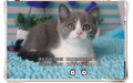 个人出售多只纯种健康小蓝猫宝宝可上门看猫