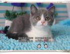 CFA注册猫舍-高品质纯种小蓝猫宝宝DDMM找新家