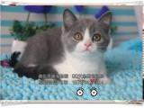 蓝猫 高品质超萌可爱小蓝猫宝宝全国少有不容错过