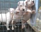 杜高犬幼犬的报价 杜高犬价格