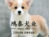 威尔士柯基犬疫苗驱虫已做多只可选送喂养柯基 柯基