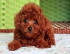 出售宠物茶杯小体泰迪熊 宠物泰迪狗狗