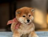 佛山柴犬价格 长期出售纯种柴犬 多窝挑选