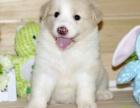 珠海纯种边境牧羊犬价格 珠海哪里能买到纯种边境牧羊犬
