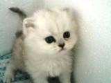 出售金吉拉猫宝宝 公母都有