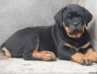 正规犬舍繁殖 纯种罗威纳 包细小犬瘟 签订协议
