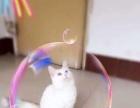 纯白异瞳狮子猫,鸳鸯眼