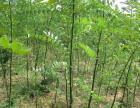 邢台知名的国槐绿化树苗厂家,价格优惠欢迎选购