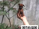 小鹿犬纯正健康出售-幼犬出售,当地可以上门挑选