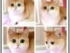 惠州正规猫舍 蓝猫