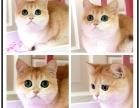 嘉恩宠物繁殖纯种英短 美短 加菲 金吉拉 布偶 蓝猫等