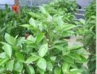 长沙专业盆栽租赁,配送出售承接各大酒店公司绿植租摆