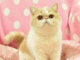 天津出售自家繁殖纯种暹罗猫幼猫 健康保障 可送货
