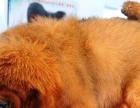 獒园出售原生态藏獒幼犬,基地繁殖,质量保证