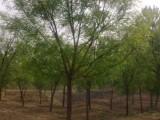 榆林20公分合欢树基地专业供应商