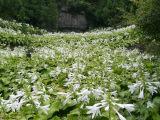 玉簪种植基地万鼎花卉更专业 玉簪批发