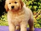 本地犬舍出售纯种金毛犬 金毛多少钱