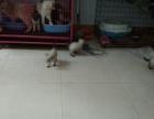 家养一窝纯种小暹罗猫出窝