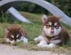 出售精品阿拉斯加犬 包犬瘟细小 售后签协议包终身