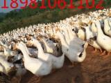 四川养殖鸡鸭鹅技术培训班