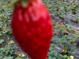 成都天府新區合江巧克力春草莓采摘 低消費游玩