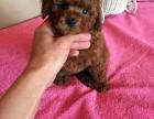 繁殖基地出售完美品相的泰迪犬 可签订协议书