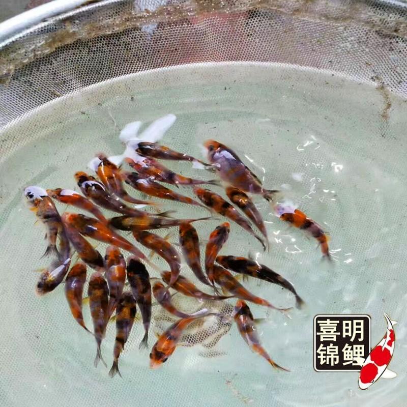 喜明渔场面向新疆批发预订观赏鱼锦鲤水花苗种