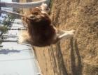 纯种阿拉斯加犬转让