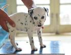 全国连锁双血统斑点狗繁殖基地 本地可上门