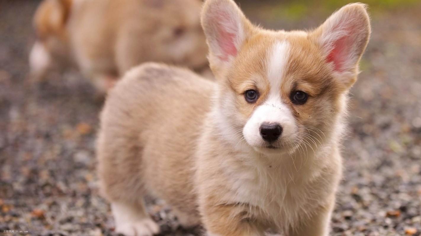 天心柯基犬出售 天心三个月纯正柯基幼犬价格 专业售后